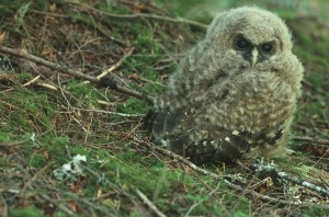 Juvenile northern spotted owl (James Johnston)