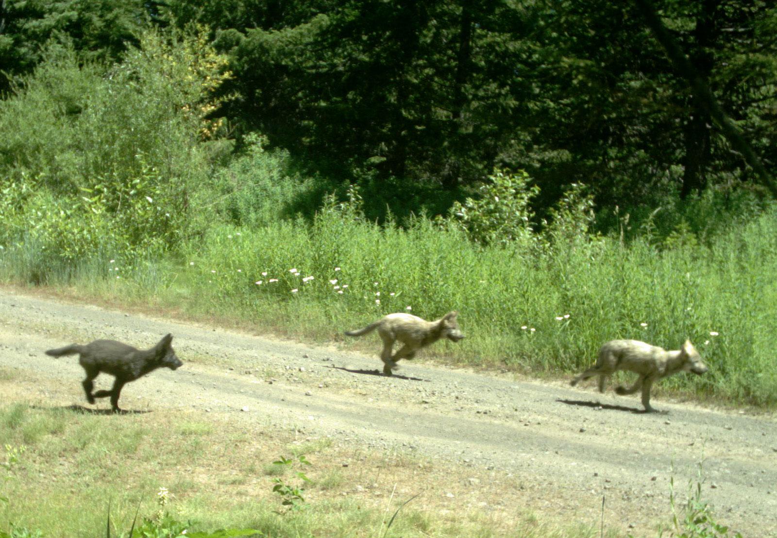 Cascadia wildlands » wolves