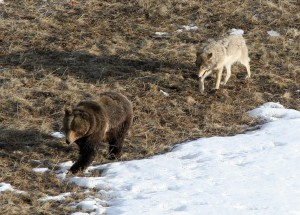 Leopold wolf following grizzly bear;Doug Smith;April 2005