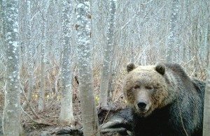 BC Grizzly on trail cam