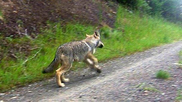 Cascadia wildlands northern rockies wolves the us fish and wildlife service just release the following press statement about the independent peer review see link at bottom of 2019372475 sciox Gallery