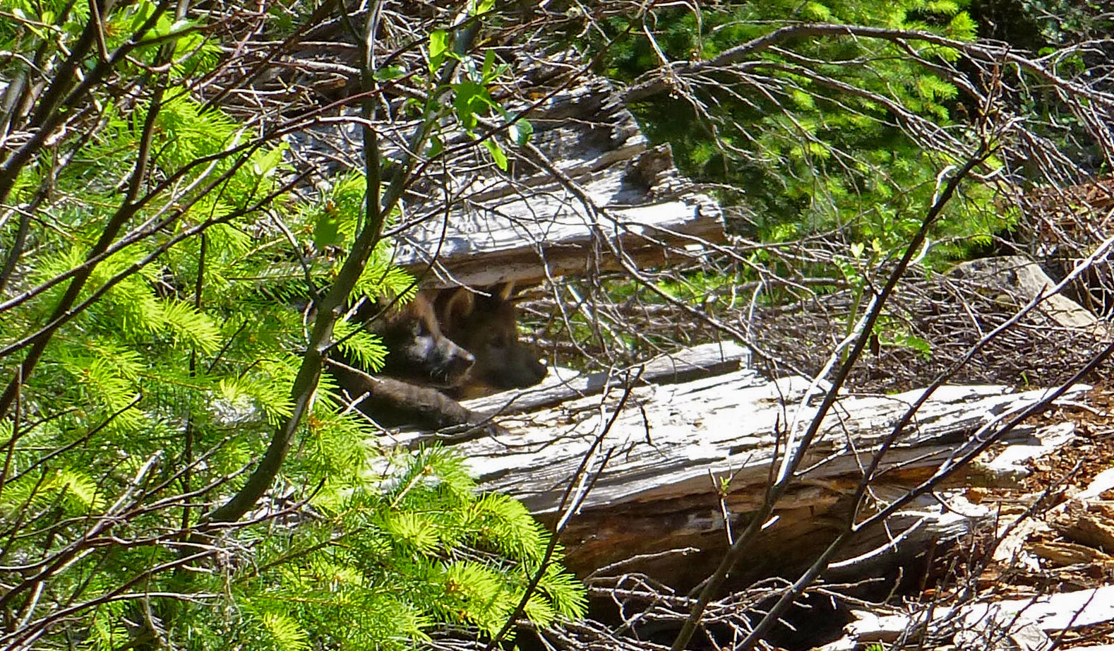 Two pups from the Rogue Pack, June 2014