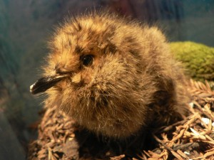 Marbled murrelet chick (photo by Peter Halasz).