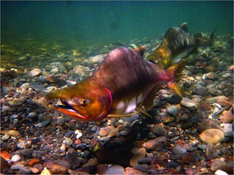 Protect Washington's Salmon, Steelhead and Bull Trout