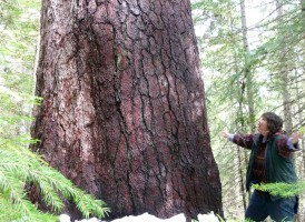Old growth sugar pine tree