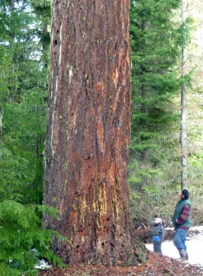 Giant Douglas fir tree threatened by pipeline