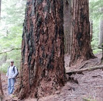 Old Growth on O&C lands