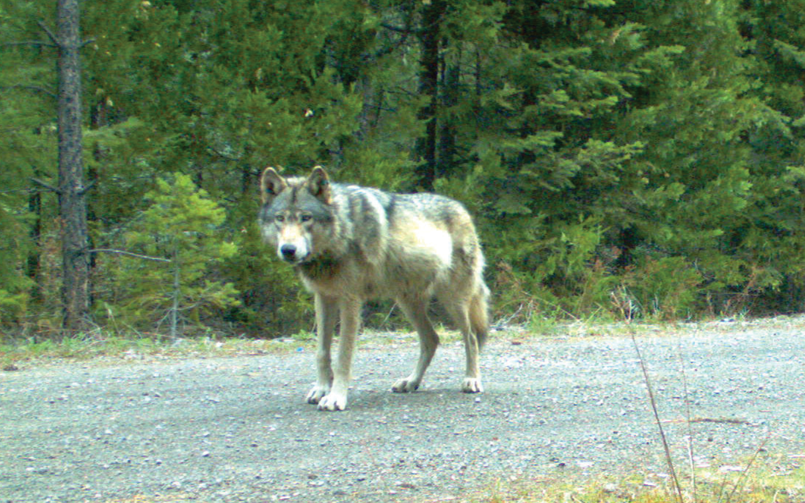 Press Release: Anniversary of OR-7's Arrival in California Inspires New Wolf Alliance