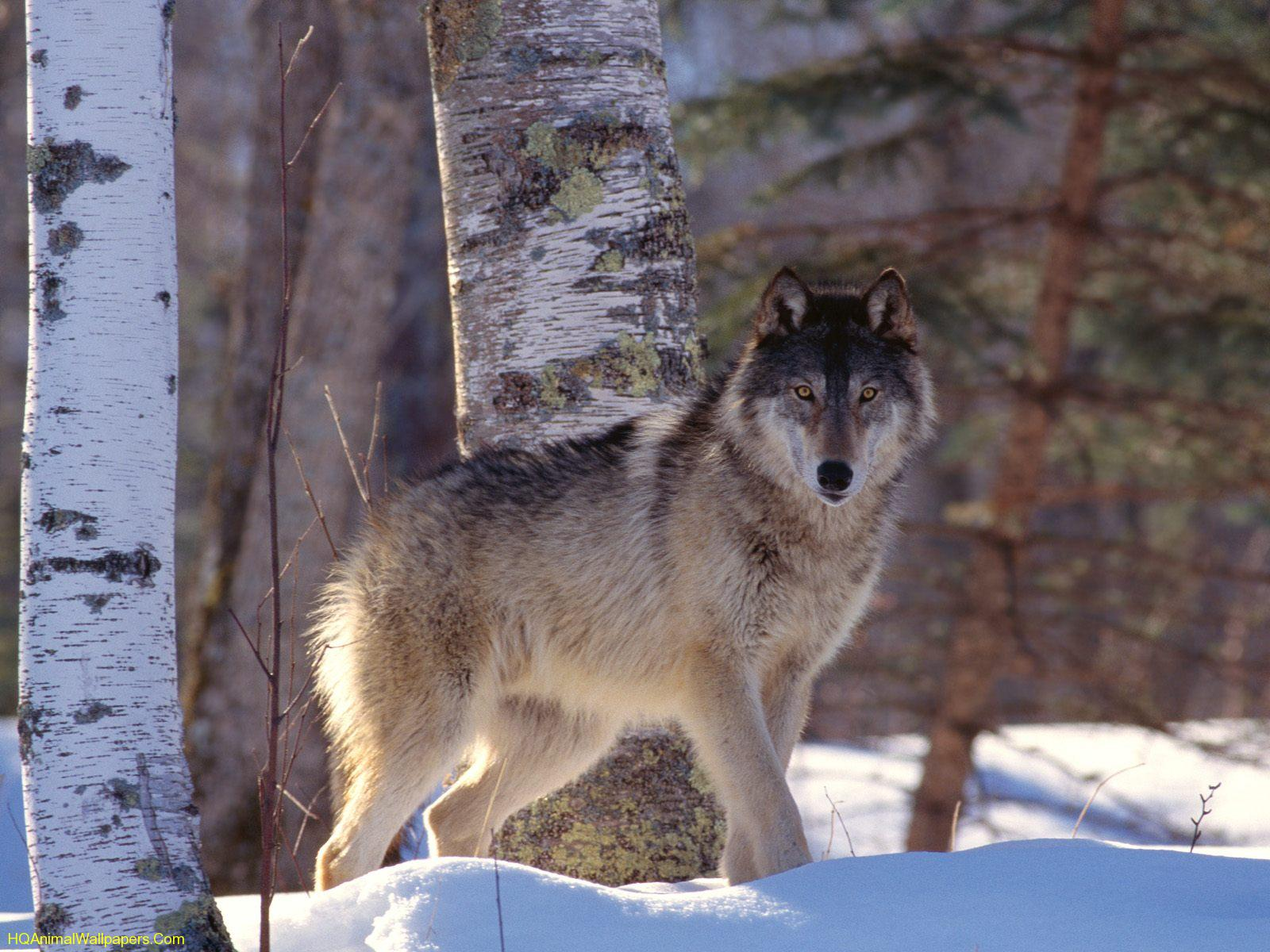 Wolves: Full-Profile-Gray-Wolf-1