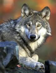 Washington Wolf