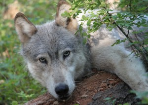 0462_wenaha_male_wolf
