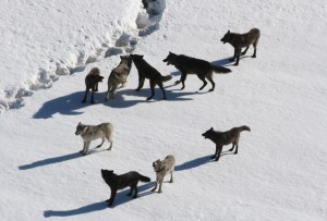 Gibbon wolf pack standing on snow;Doug Smith;March 2007