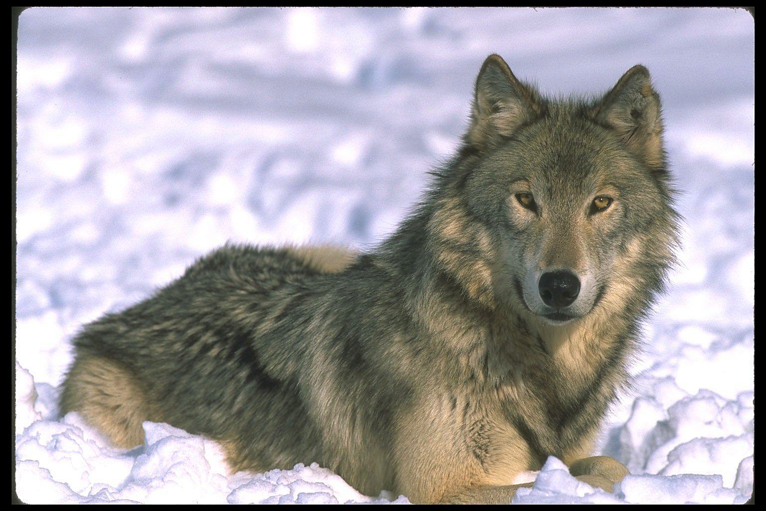 Wolves: Cascadia Wildlands » Gray Wolf