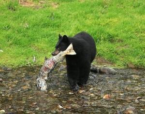 Black_Bear_.........2