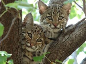 Bobcat-kittens