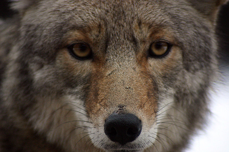 Urge Your Senator to Stop Coyote Killing Contests