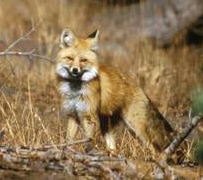Sierra_Nevada_Red_Fox_Keith_Slausen_US_Forest_Service_2010