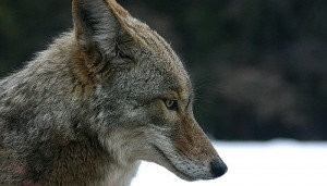 800px-Coyote_portrait