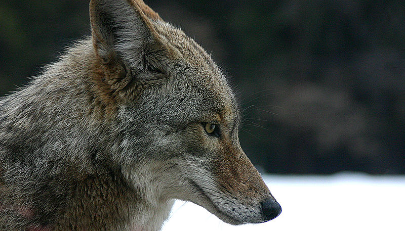 Help End Coyote Killing Contests in Oregon