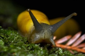 Banana_slug_closeup