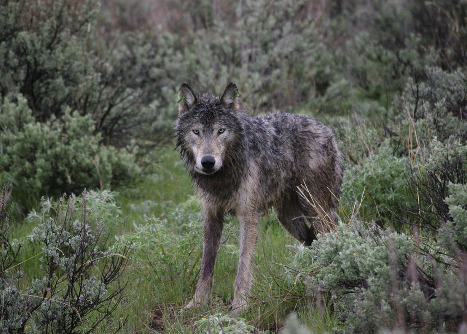 Wolf after release in 2009. This was the first tagged wolf in Oregon, since the beggining of their return in 2008. (Photo ODFW)