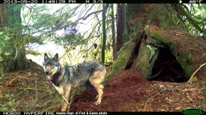 AA wolf mom at den__ADF&G photo from Person & Larson (2013)