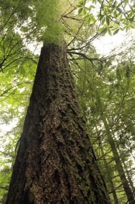 Legacy Tree (683x1024) (683x1024)