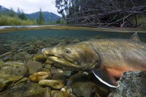 bull_trout (US Fish and Wildlife Service)