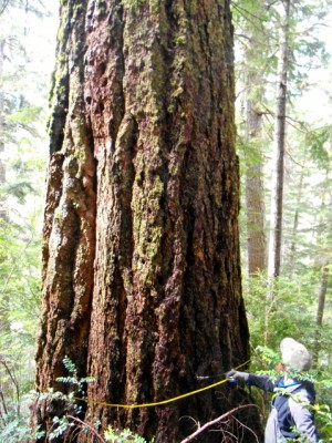 Old Growth Tree in Sale Parcel