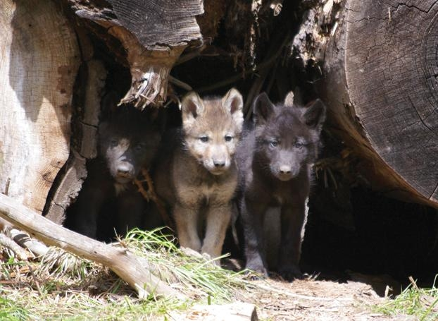 Keep Federal Wolf Protections