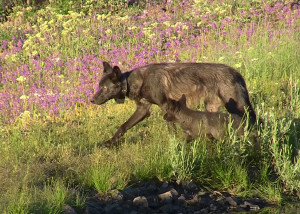 Photo taken July 6, 2013 of OR17 with a 2013 pup of the Imnaha pack.  Subadult wolves assist in the raising of the pups. Photo courtesy of ODFW. Download high resolution image.