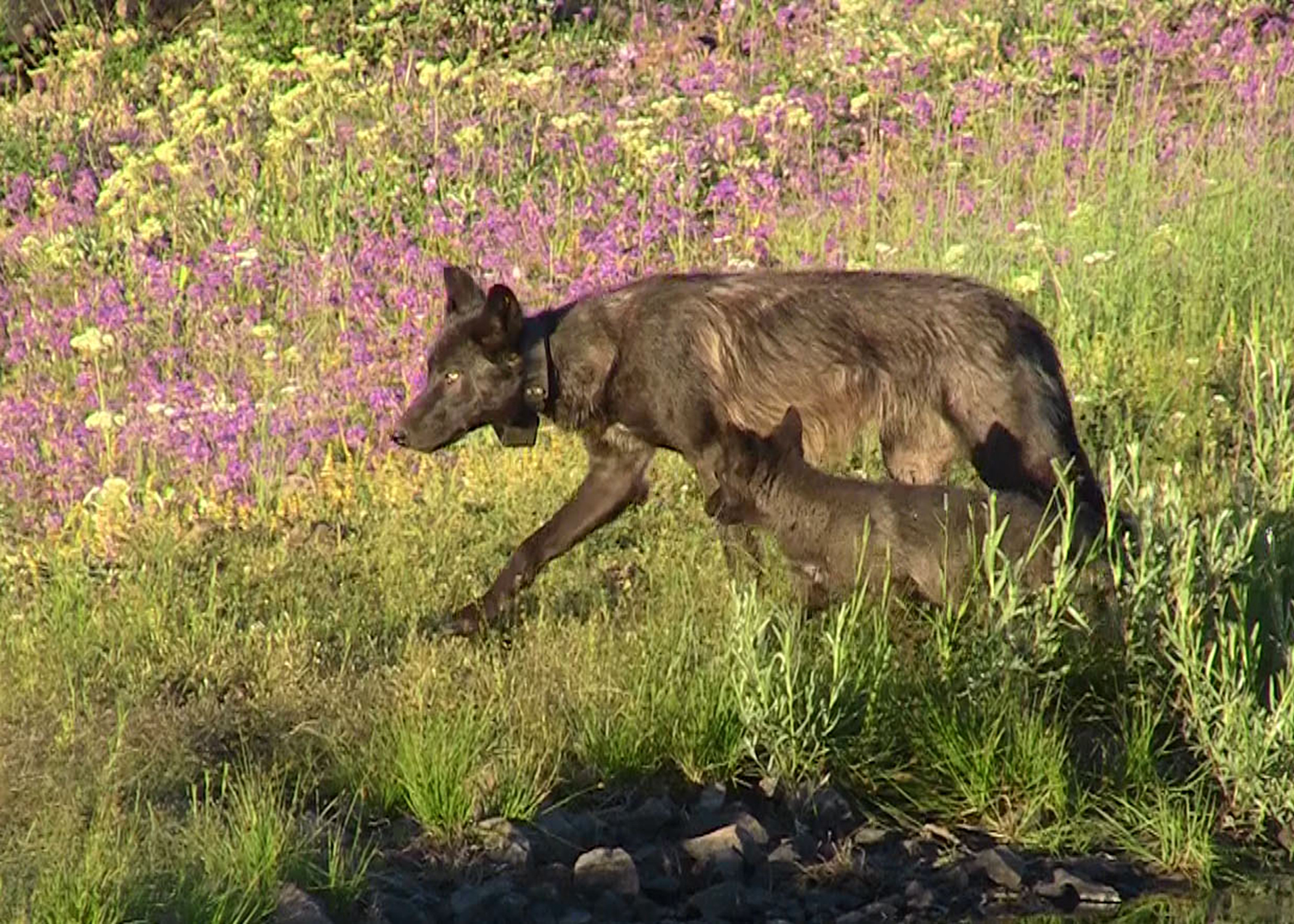 Help Prevent Wolf Killing in Oregon and Washington!