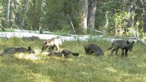 California's Shasta Pack (CDFW photo)