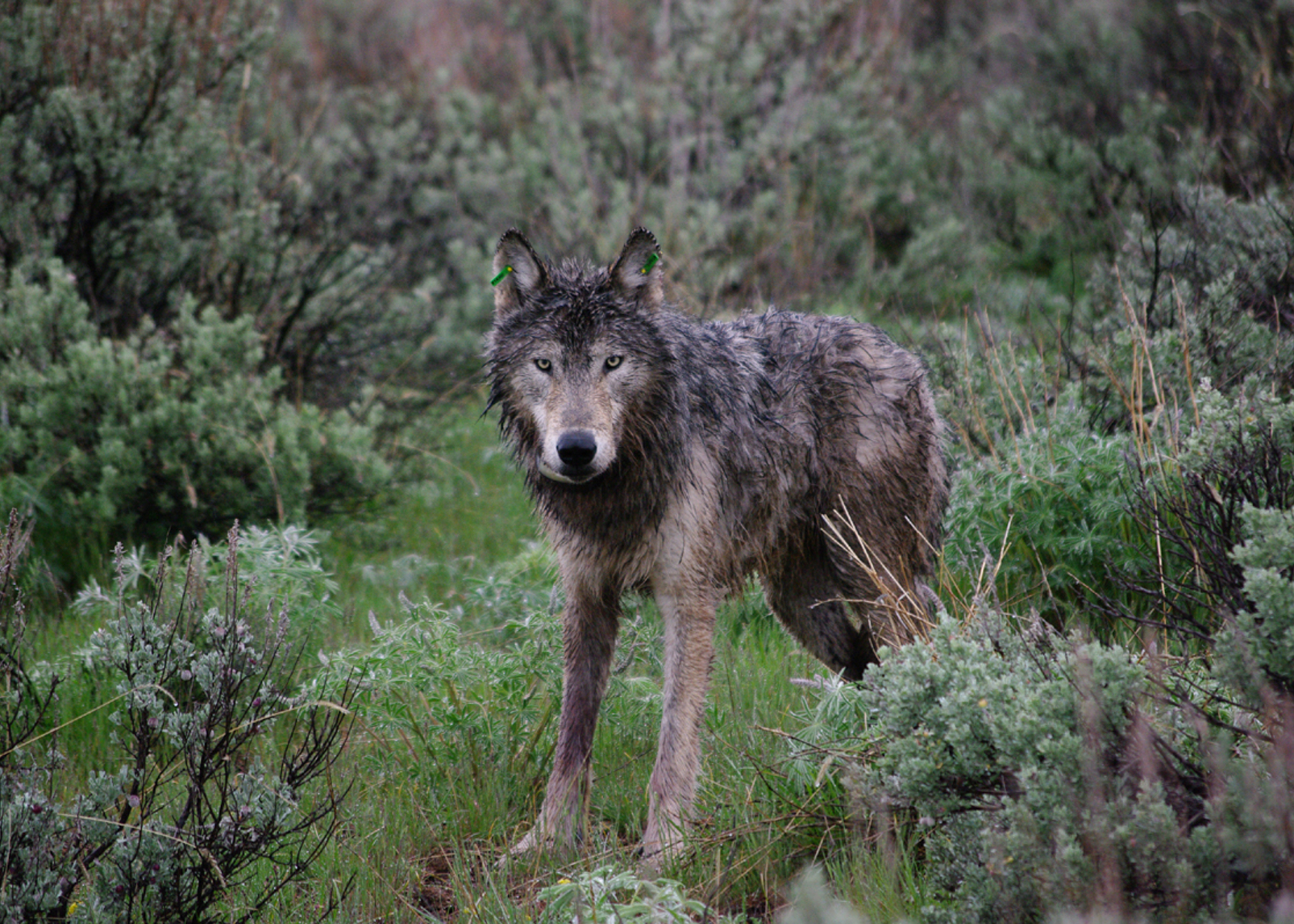 Oregon Wolf Recovery Chronology