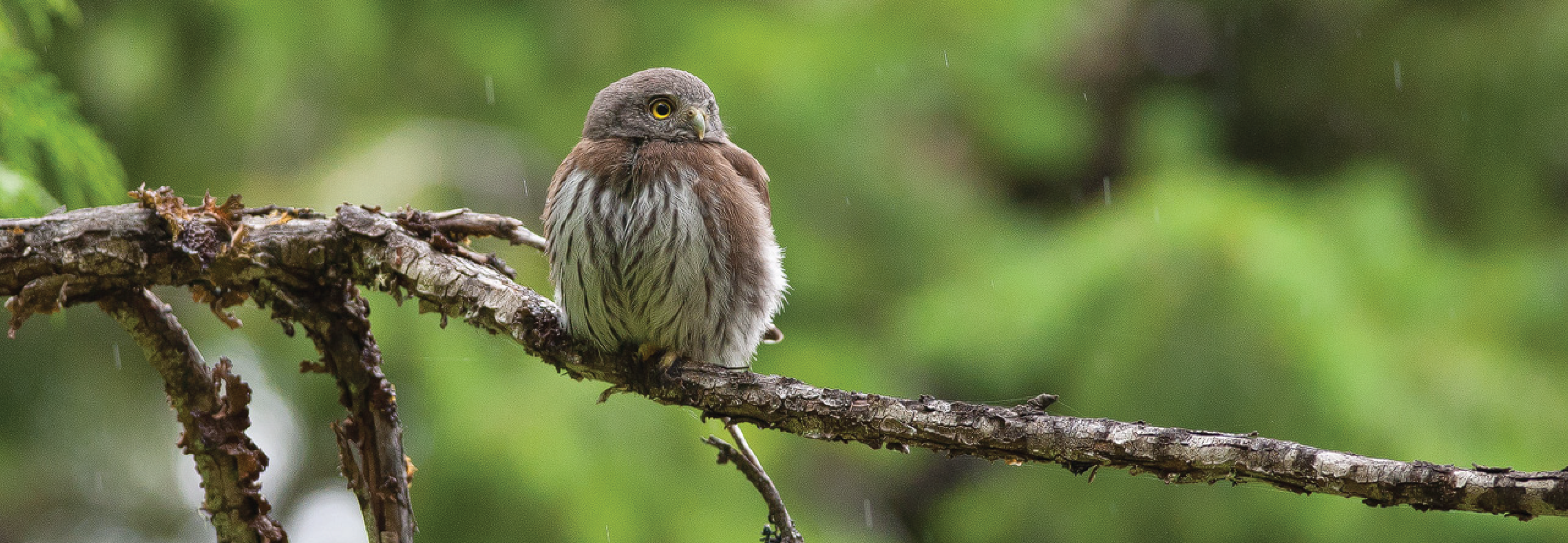 Northern Pygmy Owl - photo by Andrew Kumler