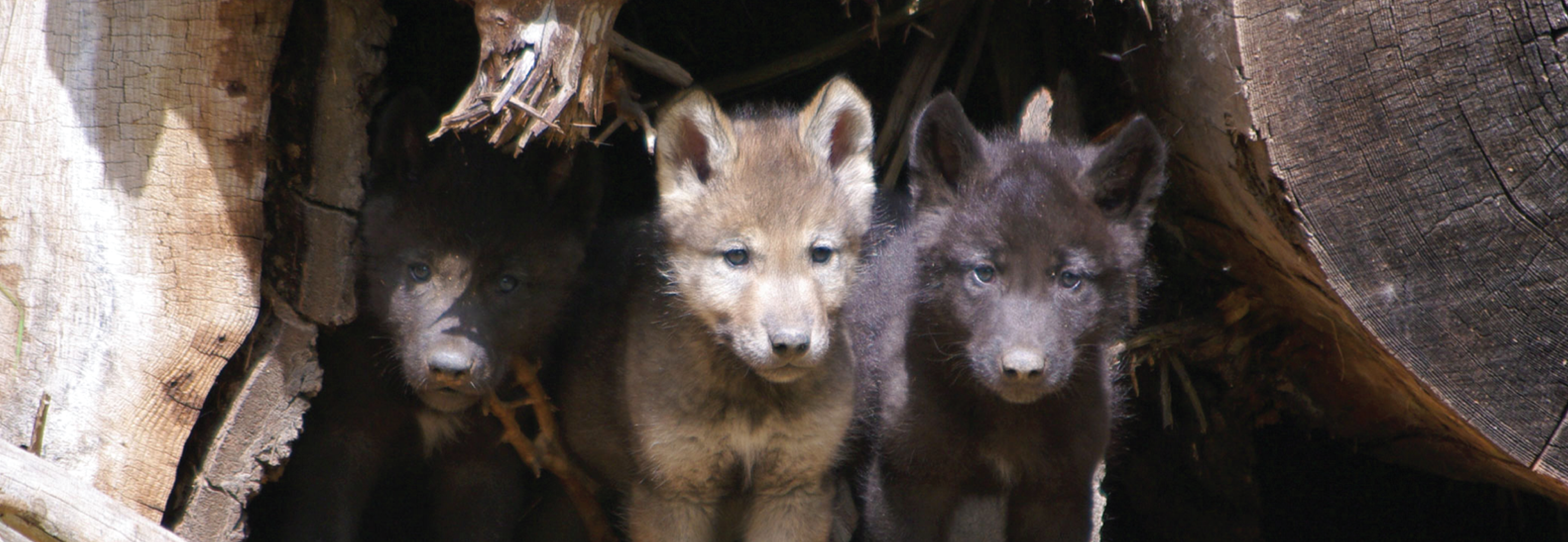 Wolf pups from the Wenaha Pack (photo by ODFW)