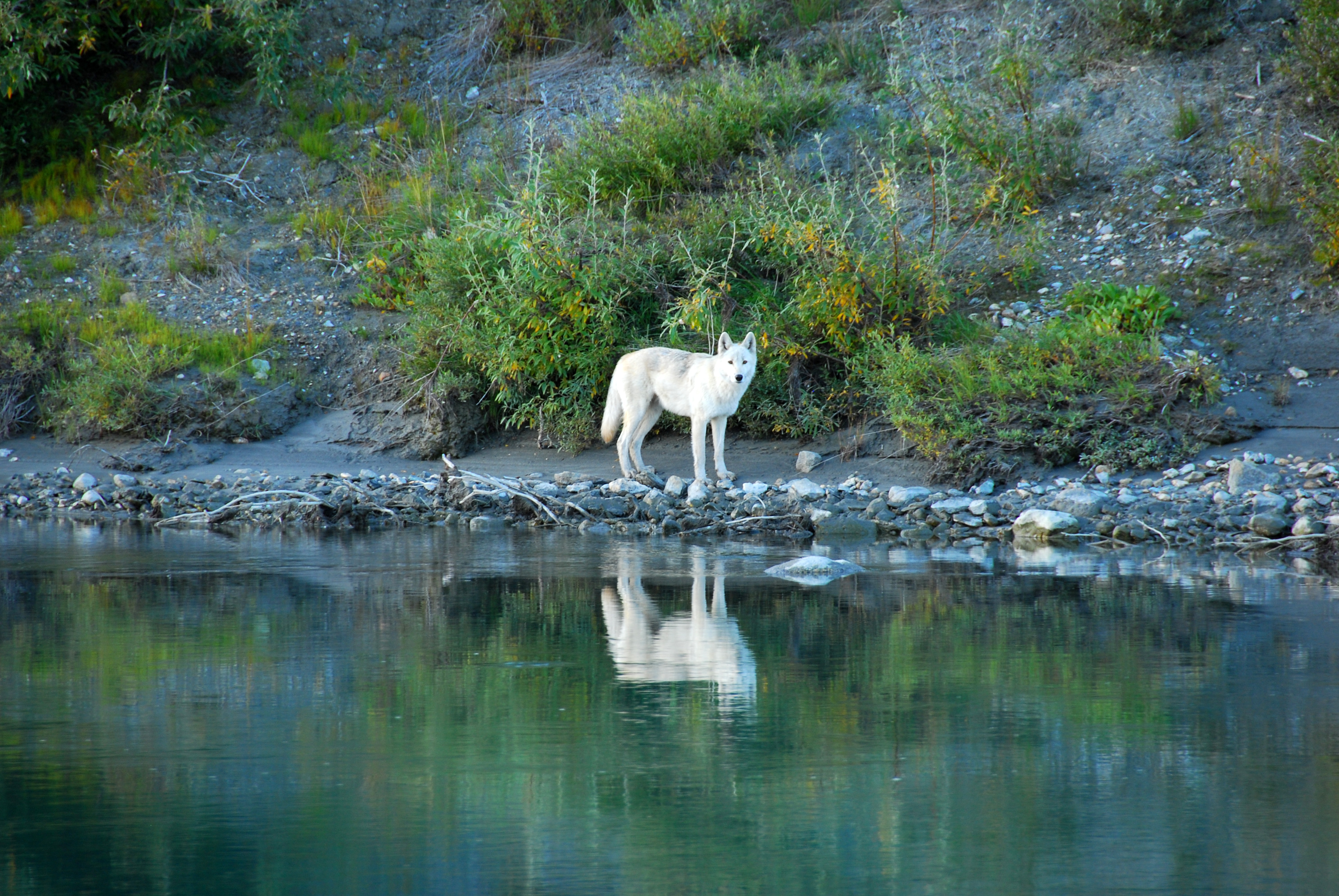 white-wolf-on-the-noatak-river-at-gates-of-the-arctic-national-park