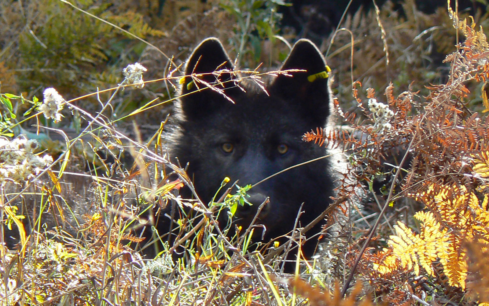 Washington Targeting Three Wolf Packs for Killing
