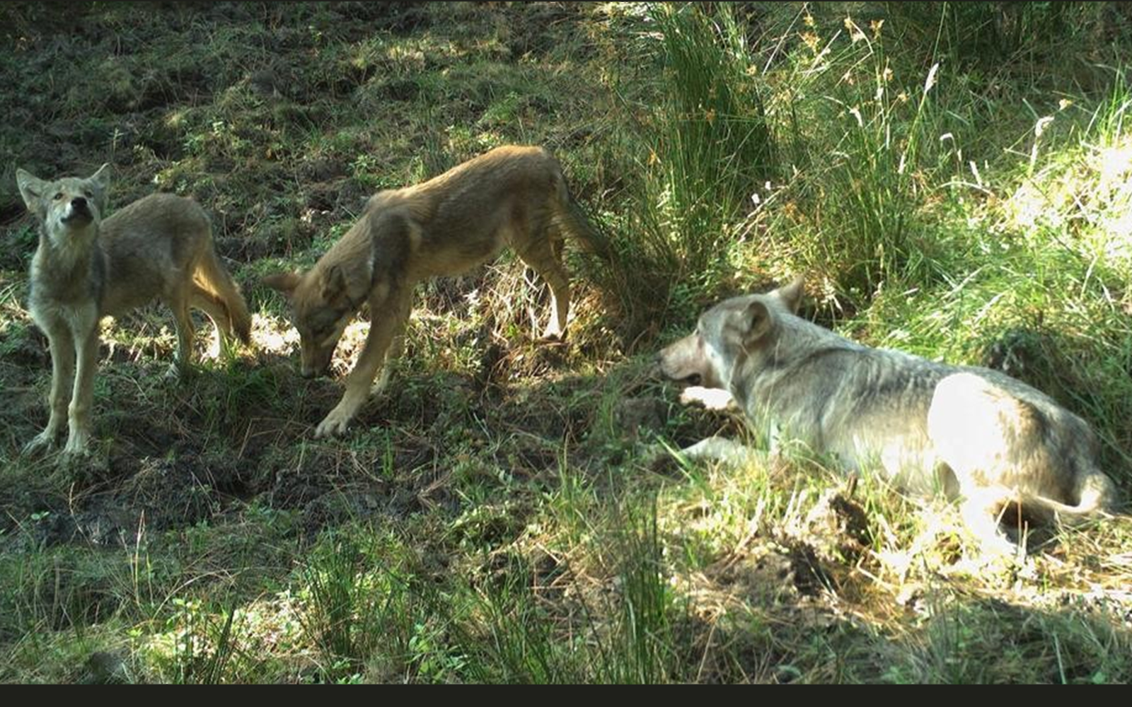 Press Release: Wolf Pups Documented Near Iconic Mt. Hood