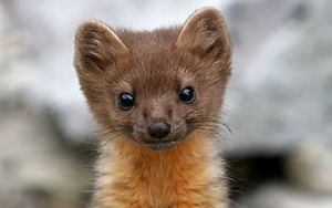 The Humboldt marten (photo courtesy of North Coast Journal).