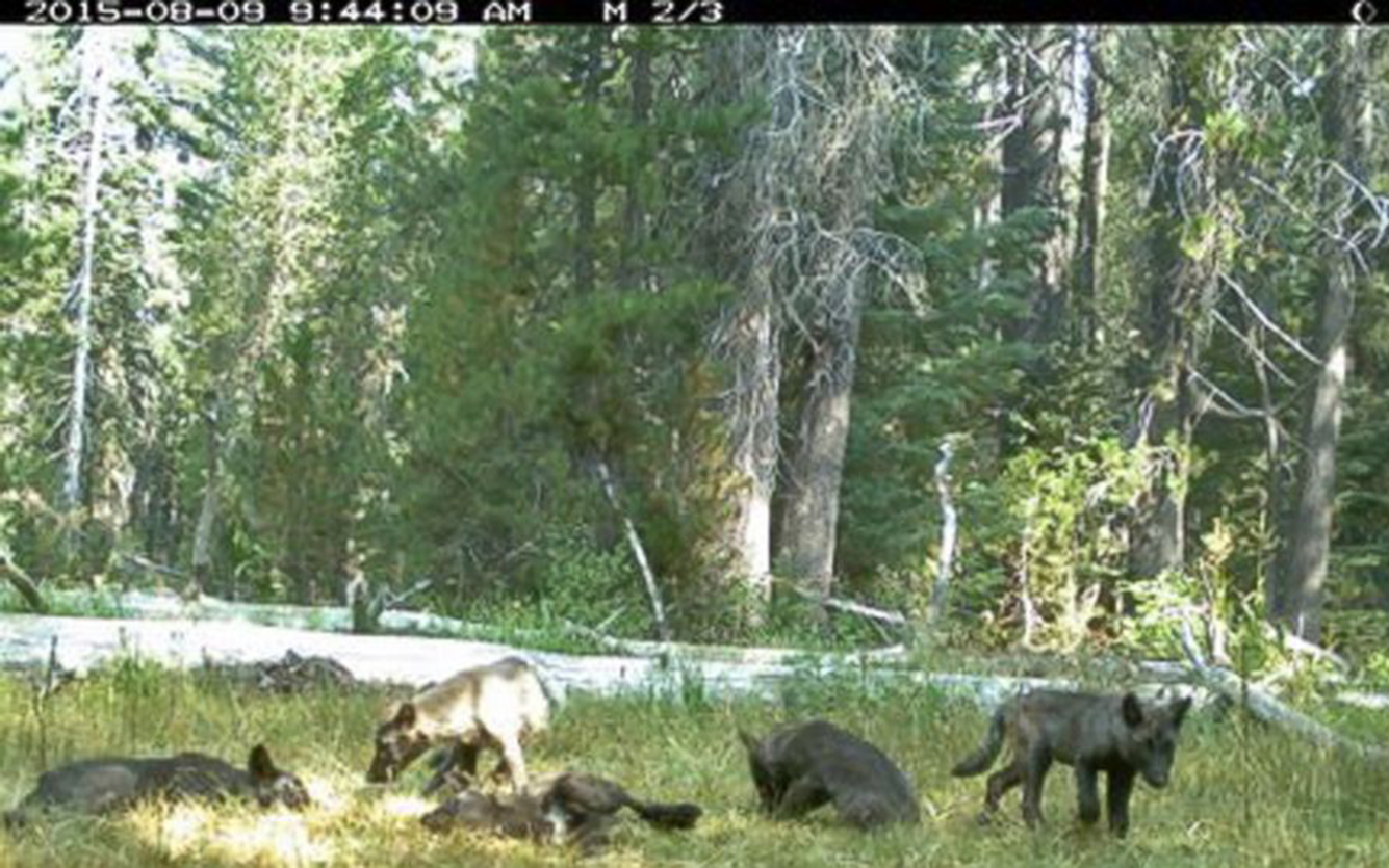 Legal Victory for California's Wolves!