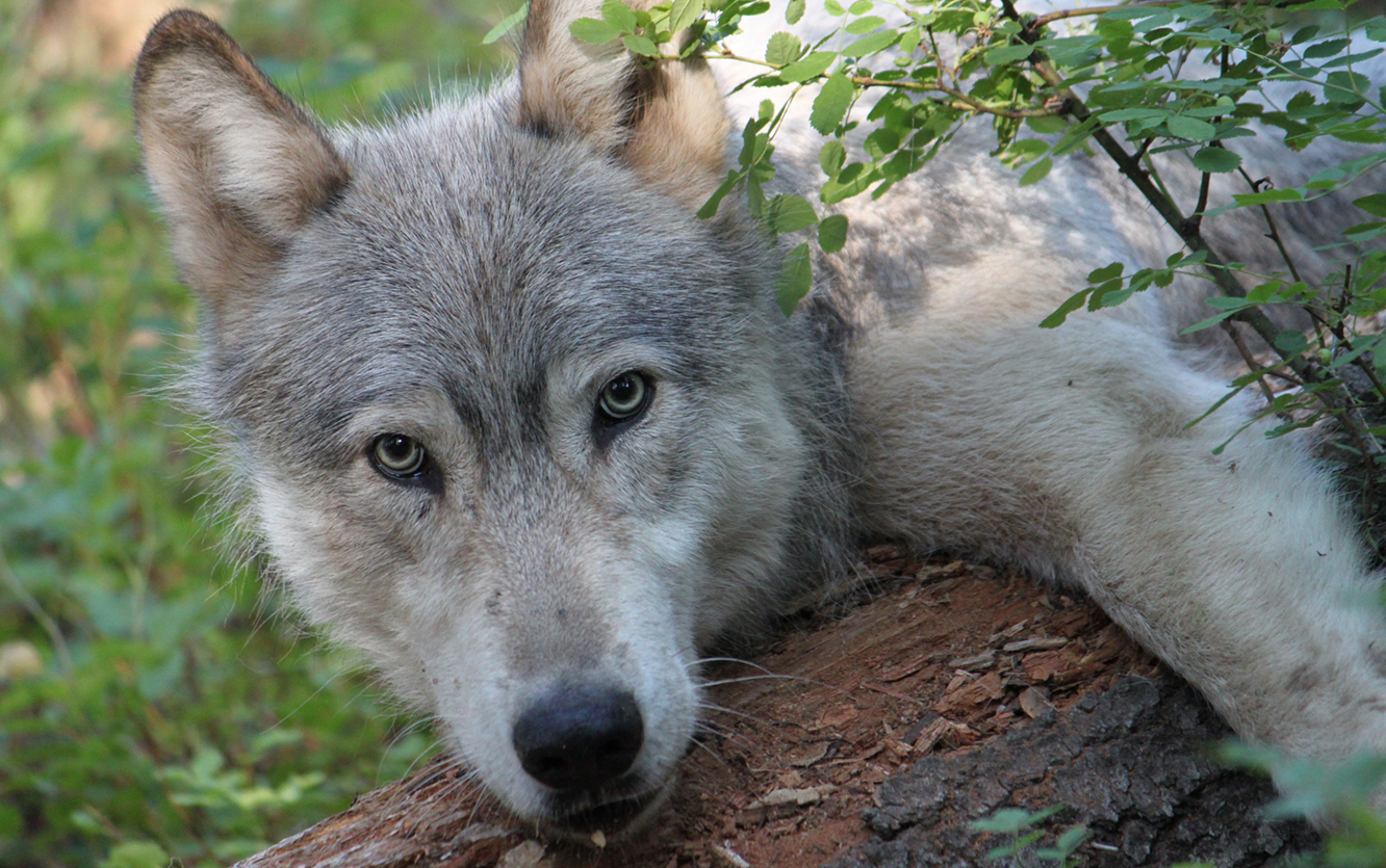 House Removes Gray Wolf Protections, Contact Your Senator Now!