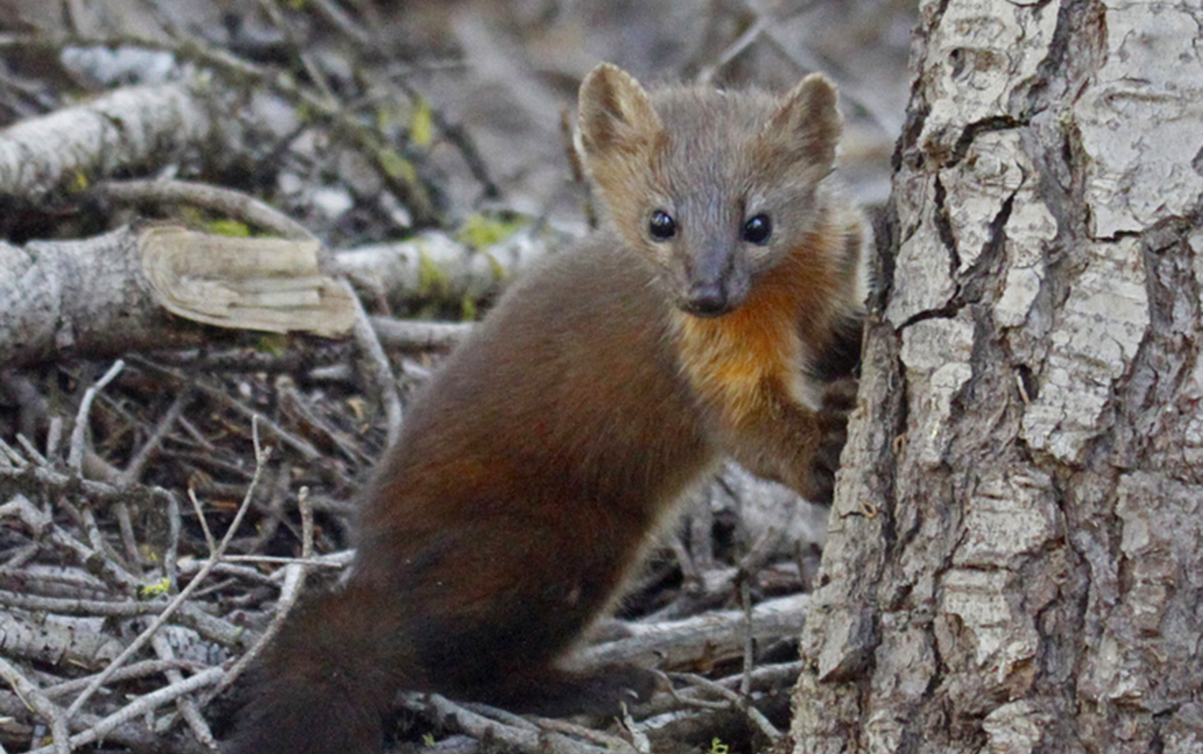 Oregon Adopts Petition; Bans Trapping of Humboldt Martens!