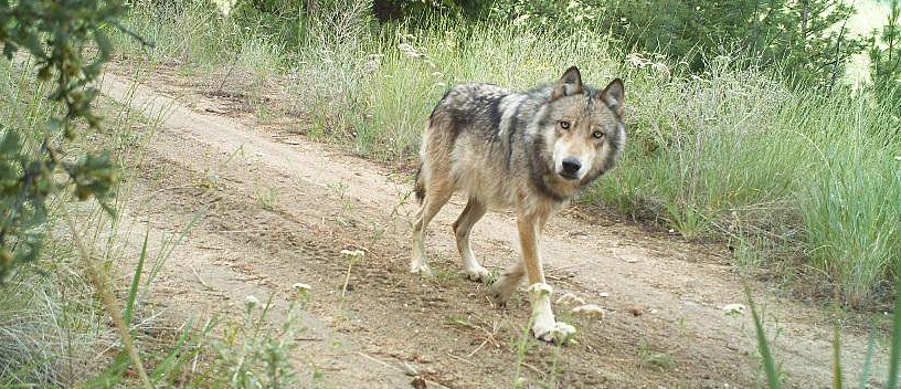 A Washington wolf from the Lookout Pack, traveling on an old forest road in the Methow Valley in the spring of 2014 (photo by Conservation Northwest/WA Dept of Fish & Wildlife).