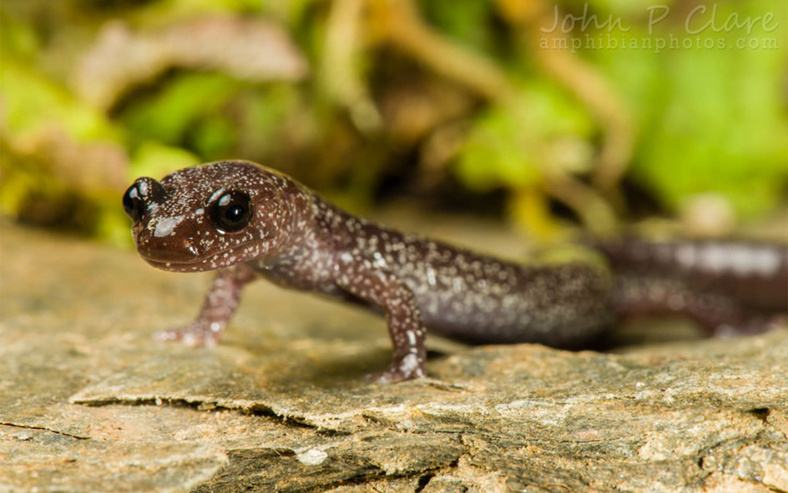 Lawsuit Launched to Protect Rare Siskiyou Mountains Salamander
