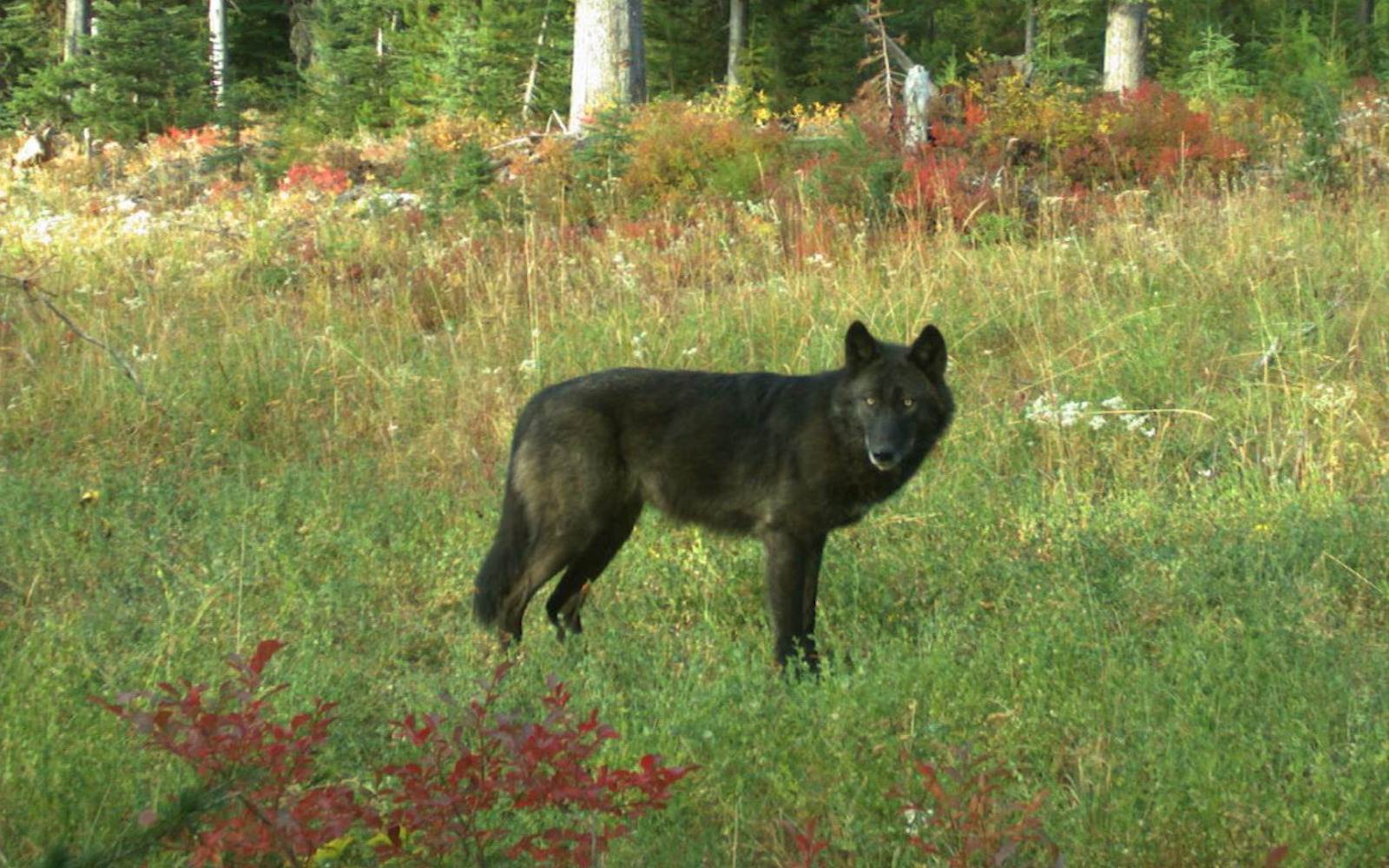 Legal Petition Filed to Regulate Washington Wolf-killing