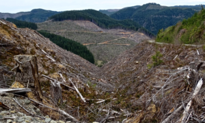 A nasty clearcut by the Weyerhaeuser company in the Oregon Coast Range (photo by Francis Eatherington).