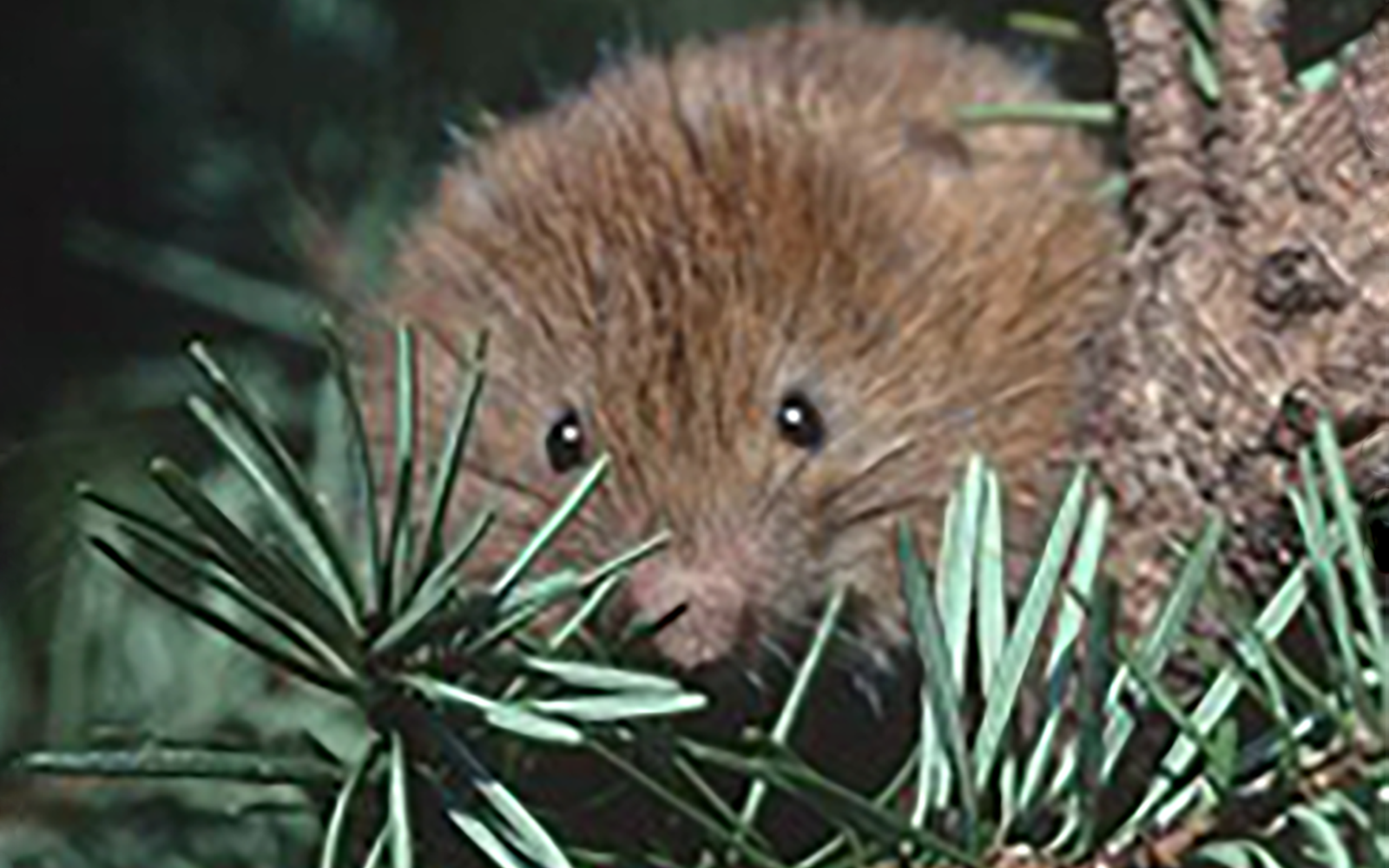 Press Release: Lawsuit Launched to Protect North Oregon Coast Red Tree Vole