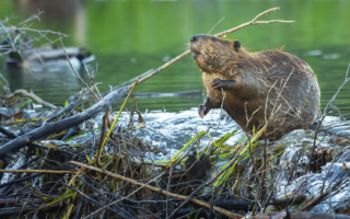 A North American beaver (Castor canadensis) builds a dam (photo by Chase Dekker).