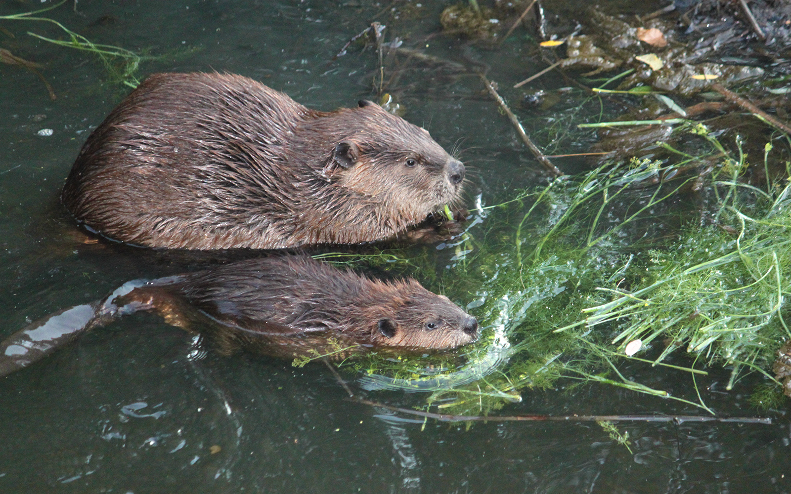 "INTERN-al VIEW: No Longer the ""Beaver State""- The Quest to Protect Oregon's Beavers"
